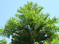 Kew Gardens Wollemi Pine P1170609.JPG