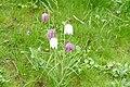 Kievitsbloemen (Fritillaria meleagris), Castricum, NL.jpg