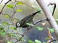 Kikuyu-Brillenvogel (27803118969).jpg
