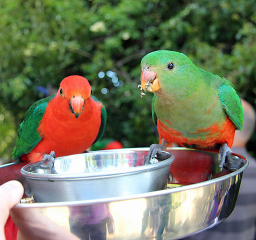 King Parrot Pair being fed in Queensland