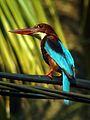 Kingfisher Halcyon smyrnensis.jpg