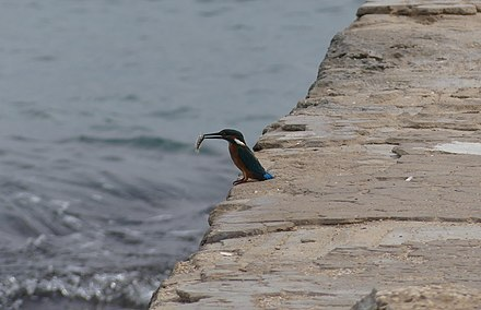 A kingfisher swallowing a small fish near the Burj Al Mobarakee tower Kingfisher Tyre RomanDeckert26102019.jpg