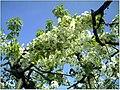 Kirschblüte - panoramio (27).jpg