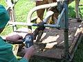 Klauenpflege Kuh 9791.jpg