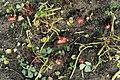 Kluse - Oxalis tuberosa 18 ies.jpg