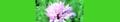 Knautia arvensis. Reader.png