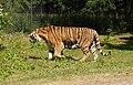 Knuthenborg Safaripark - tiger.jpg