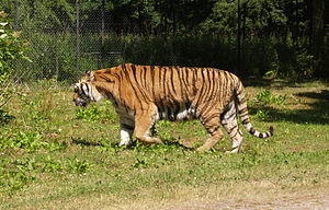 Knuthenborg Safaripark - Tiger in Knuthenborg Safaripark