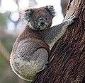 KoalaAğacda.jpg