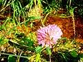 Koniczyna (Trifolium pratense).jpg