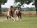Konie huculskie w galopie.jpg