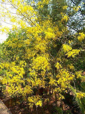 Cassia fistula - Golden shower tree in bloom