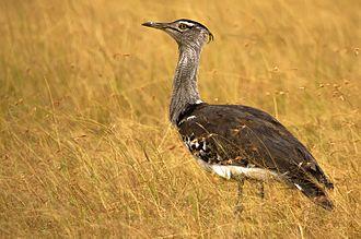 Kori bustard - Male A. k. struthiunculus at Maasai Mara, Kenya