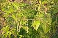 Korina 2011-04-26 Quercus libani 2.jpg