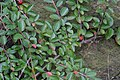 Korina 2016-10-15 Cotoneaster divaricatus.jpg