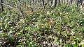 Korina 2019-03-30 Mahonia aquifolium 1.jpg