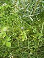 Kruisbladgentiaan-plant-kl.jpg