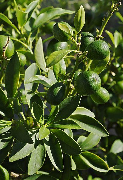 File:Kumquat vert FR 2012.jpg
