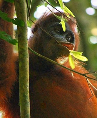 Palm oil production in Indonesia - Wild orangutan spotted in Kutai National Park, Borneo, Indonesia.