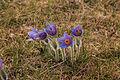 Kvetoucí koniklece v PP Kobylinec 26.jpg
