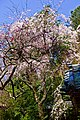 Kyoto, 桜, sakura, Otoyo-Shrine - panoramio (1).jpg