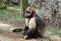 La-Palmyre-zoo 041-Capucin.jpg