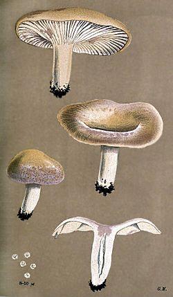 Lactarius aspideus-Cooke.jpg