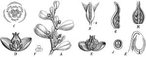 Lactoris - Lactoris fernandeziana — 1888 botanical illustration.