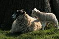 Lamb and mama in Ickworth Park (NT) 01-04-2007.jpg