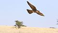 Lanner falcon, Falco biarmicus, at Kgalagadi Transfrontier Park, Northern Cape, South Africa (34415576222).jpg