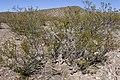 Larrea tridentata - Flickr - aspidoscelis (5).jpg