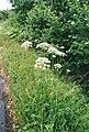 Laserpitium latifolium Aubrac.jpg