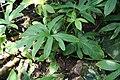Lasia spinosa IMG 1692.jpg