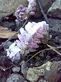 Lathraea squamaria 200420083888.jpg