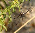 Latrodectus tredecimguttatus male.jpg