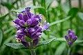 Lavender (48107143511).jpg