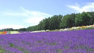 A lavender farm in Hokkaidō