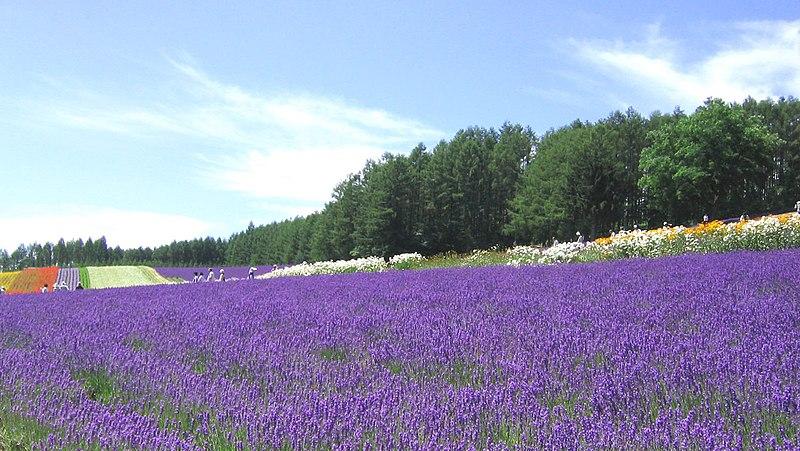 Image:Lavender FarmTomita.jpg