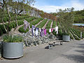 Lavender exhibit, Outdoor Biome, Eden Project - geograph.org.uk - 784513.jpg