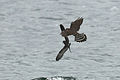 Leach's Storm Petrel escapes Merlin 2.jpg