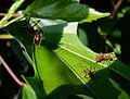 Leaf-cutter-ants-snd.JPG