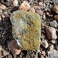 Lecanoromycetes (lichen).jpg