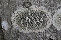 Lecidella elaeochroma 77299484.jpg