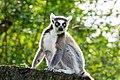 Lemur (37122882006).jpg