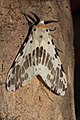 Lemyra ? (Erebidae- Arctiinae) (22431943197).jpg