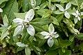Leontopodium japonicum var. shiroumense 03.jpg