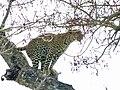 Leopard (Panthera pardus) (51218238270).jpg