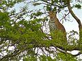 Leopard (Panthera pardus) (6934532302).jpg