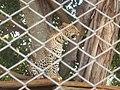 Leopardnairobi.jpg