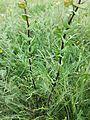 Lepidium perfoliatum sl8.jpg